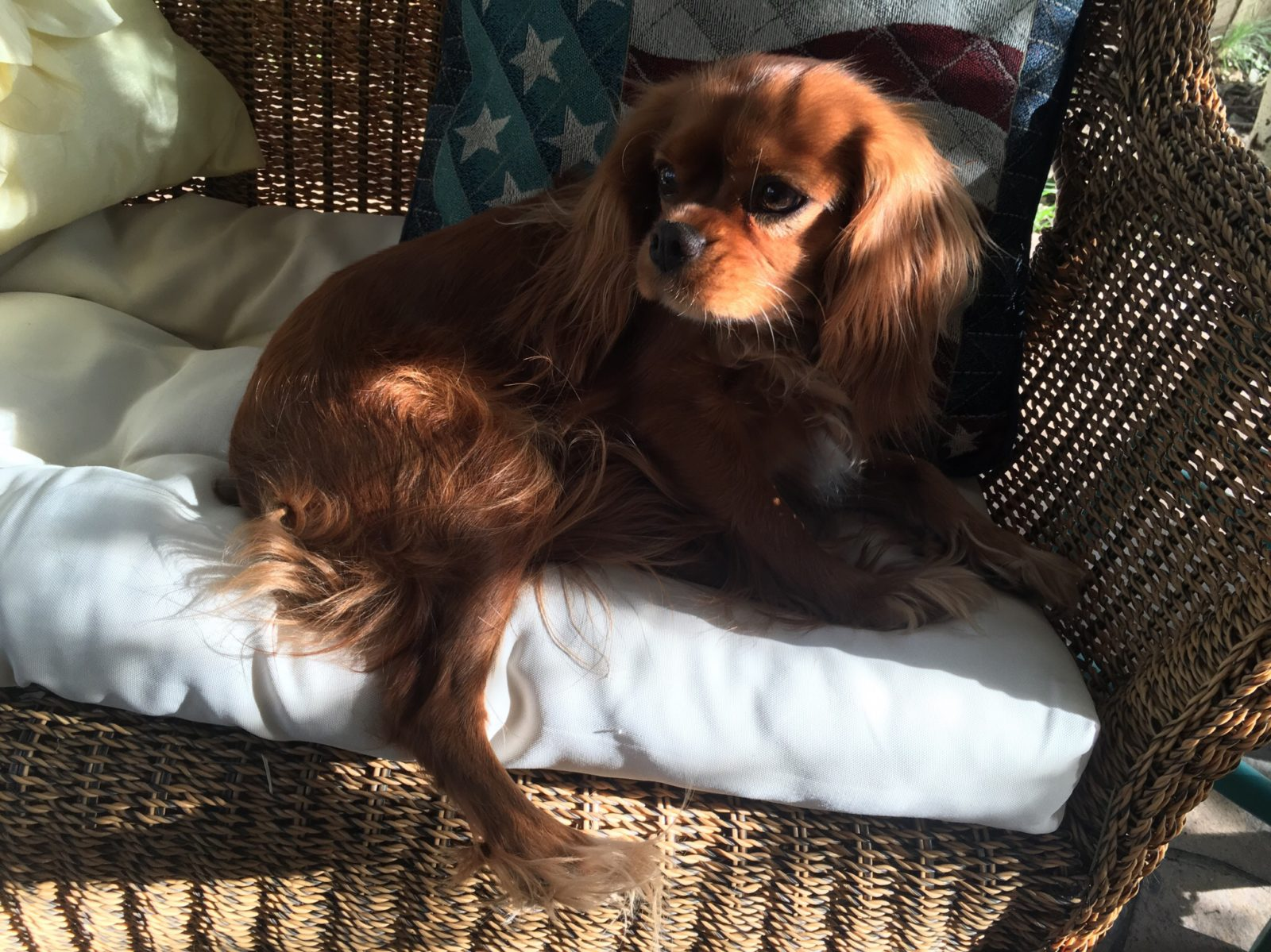 Flag Pillow with Ruby Cavalier King Charles Spaniel